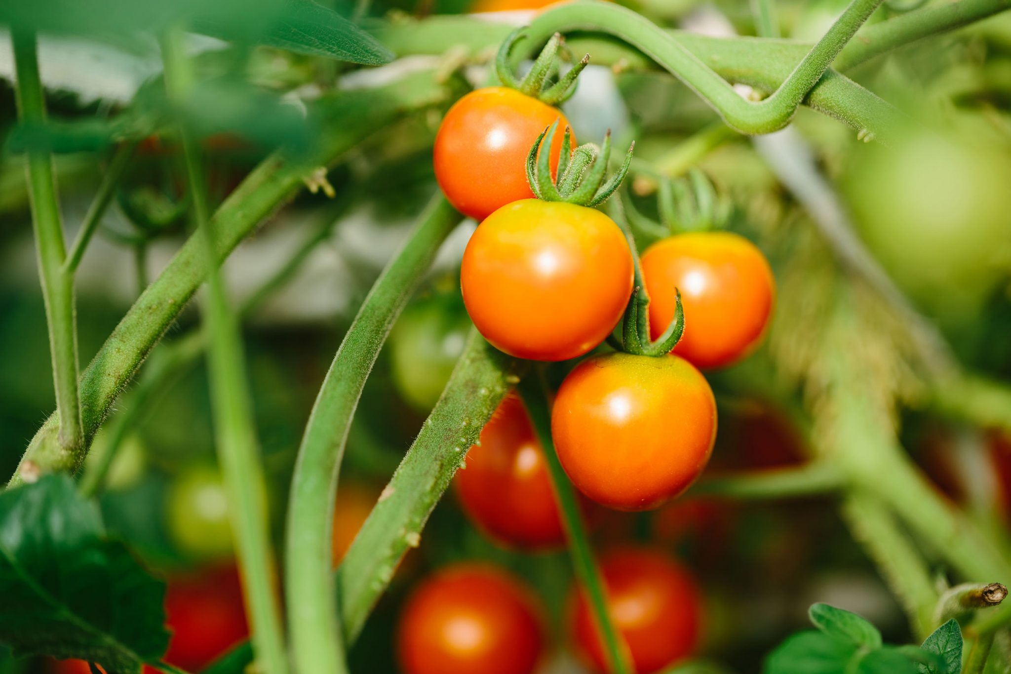 Ripe Cherry Tomatoes on Vine